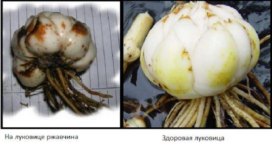 Больная и здоровая луковицы