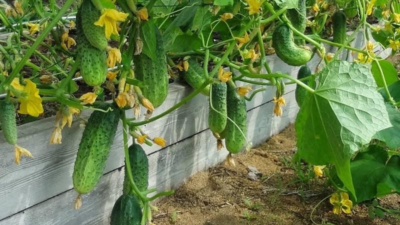 Что посадить после огурцов на следующий год для приличного урожая