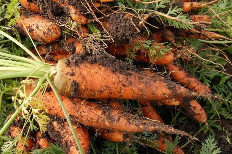Что посадить после моркови: составляем план засаживания участка правильно