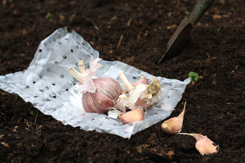 После чего сажать чеснок под зиму, чтобы он вырос крупным и здоровым