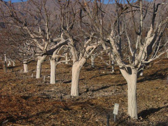 Осення побелка деревьев