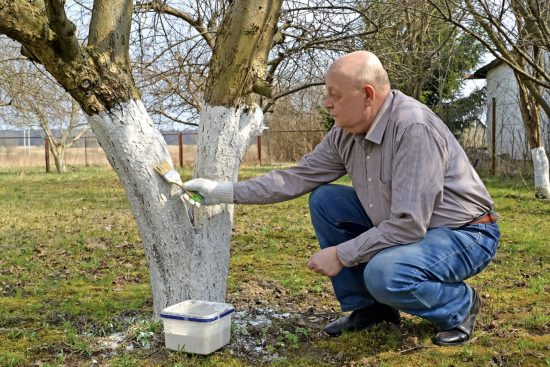 Процесс побелки деревьев