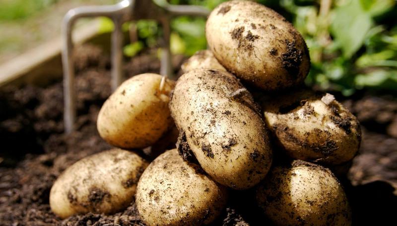 Чем удобрить землю под картофель осенью, чтобы через год радоваться урожаю