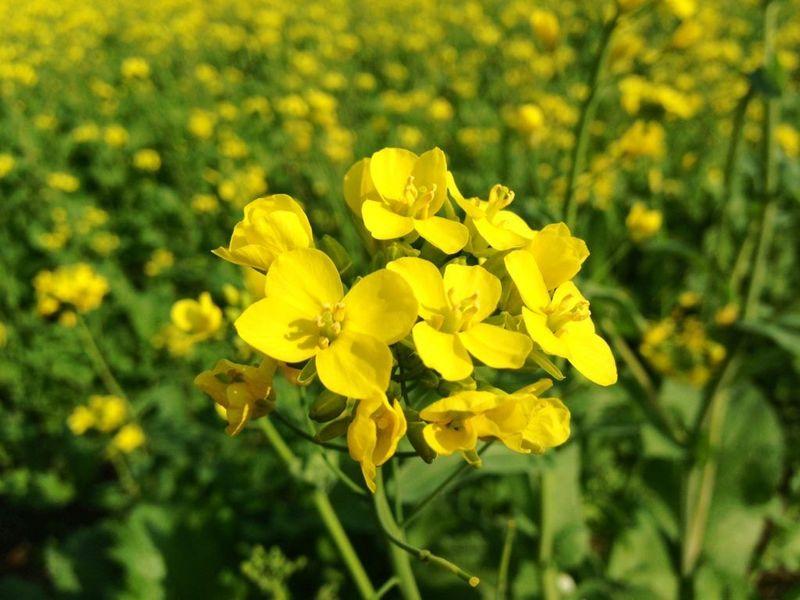 Горчица: лучшее природноеудобрение для огорода осенью