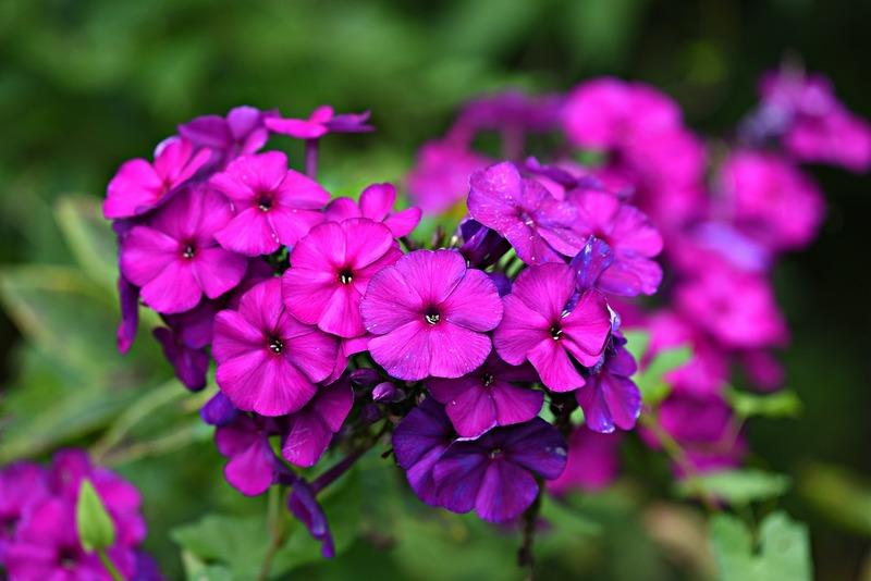 Уход за флоксами после цветения: что нужно успеть сделать осенью