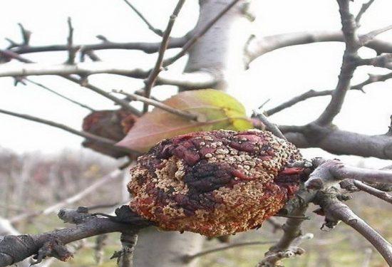 Мумифицированный плод