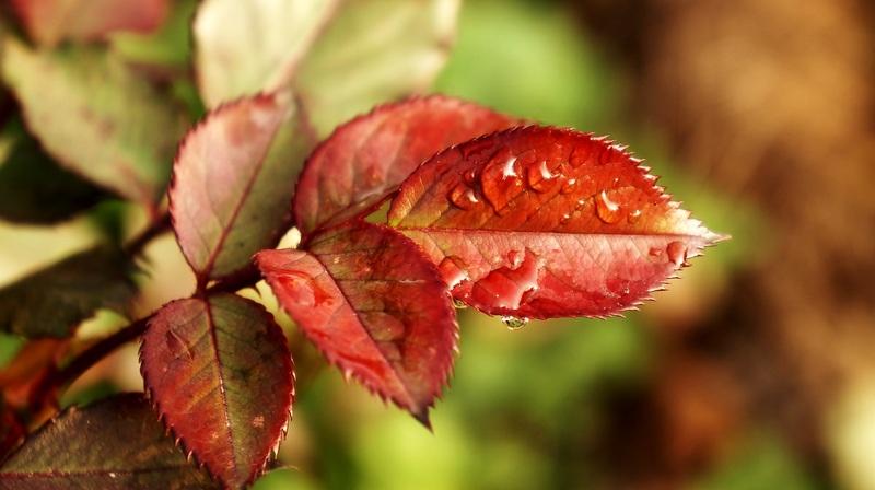 Почему у розы красные листья: как помочь растению