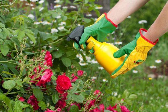 Внекорневые подкормки розы