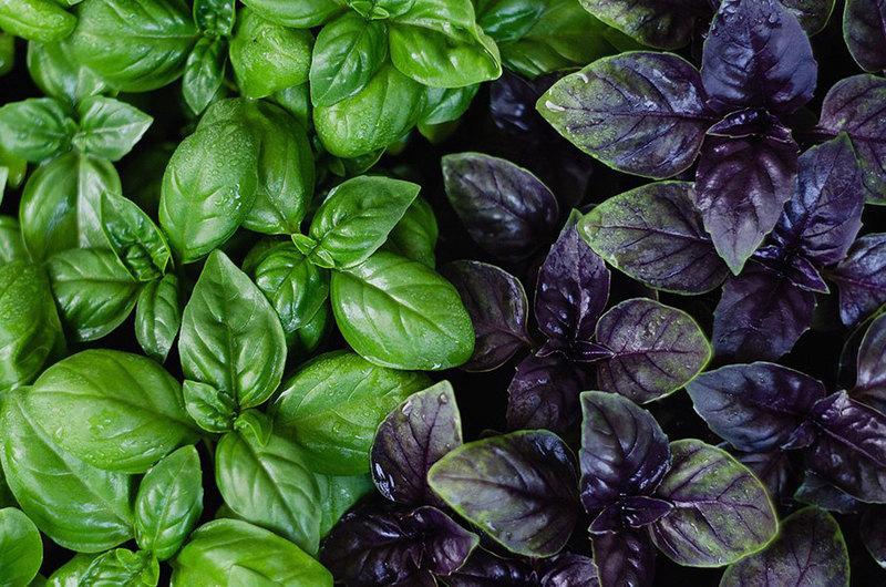 Базилик на зиму: как проще всего заготовить витаминную продукцию