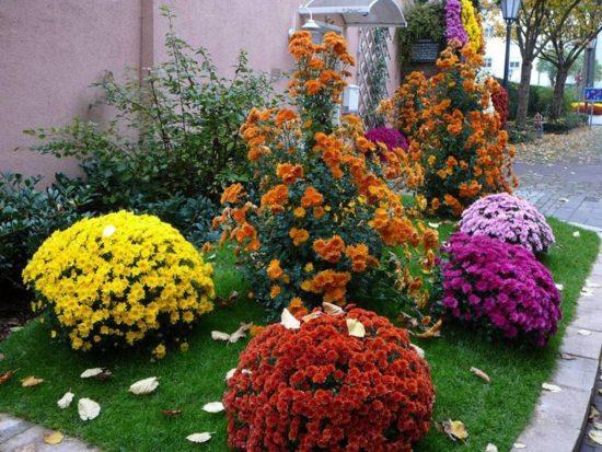 Клумба с хризантемами