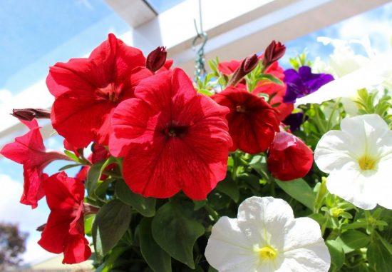 Цветут петунии