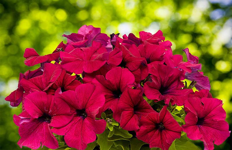 Чем подкормить петунию для обильного и продолжительного цветения