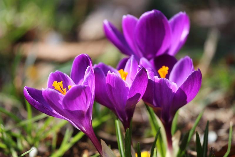Своевременная посадка крокусов осенью — залог обильного цветения весной