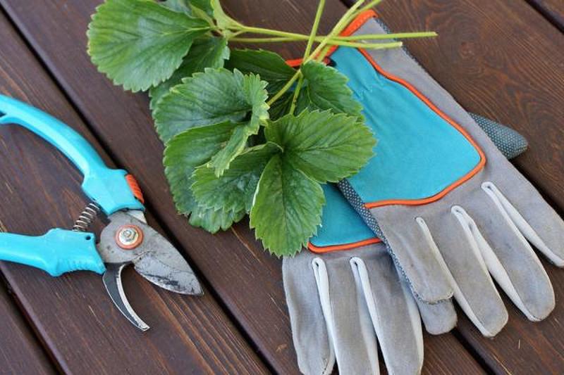 Когда и как обрезать клубнику на зиму: и нужно ли вообще это делать?