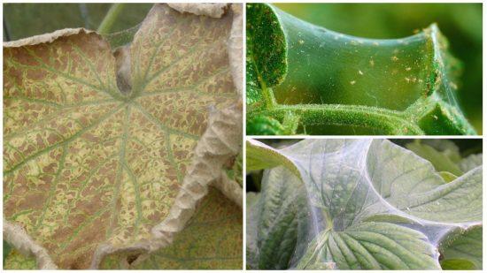 Симптомы поражения паутинным клещом