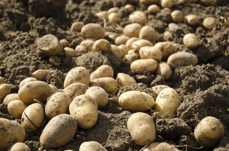 Почему картофель гниёт после уборки: спасаем урожай
