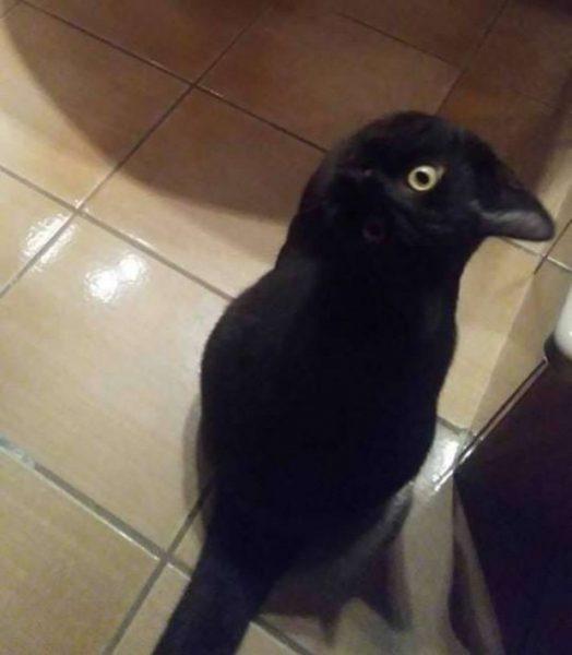 кот или ворона