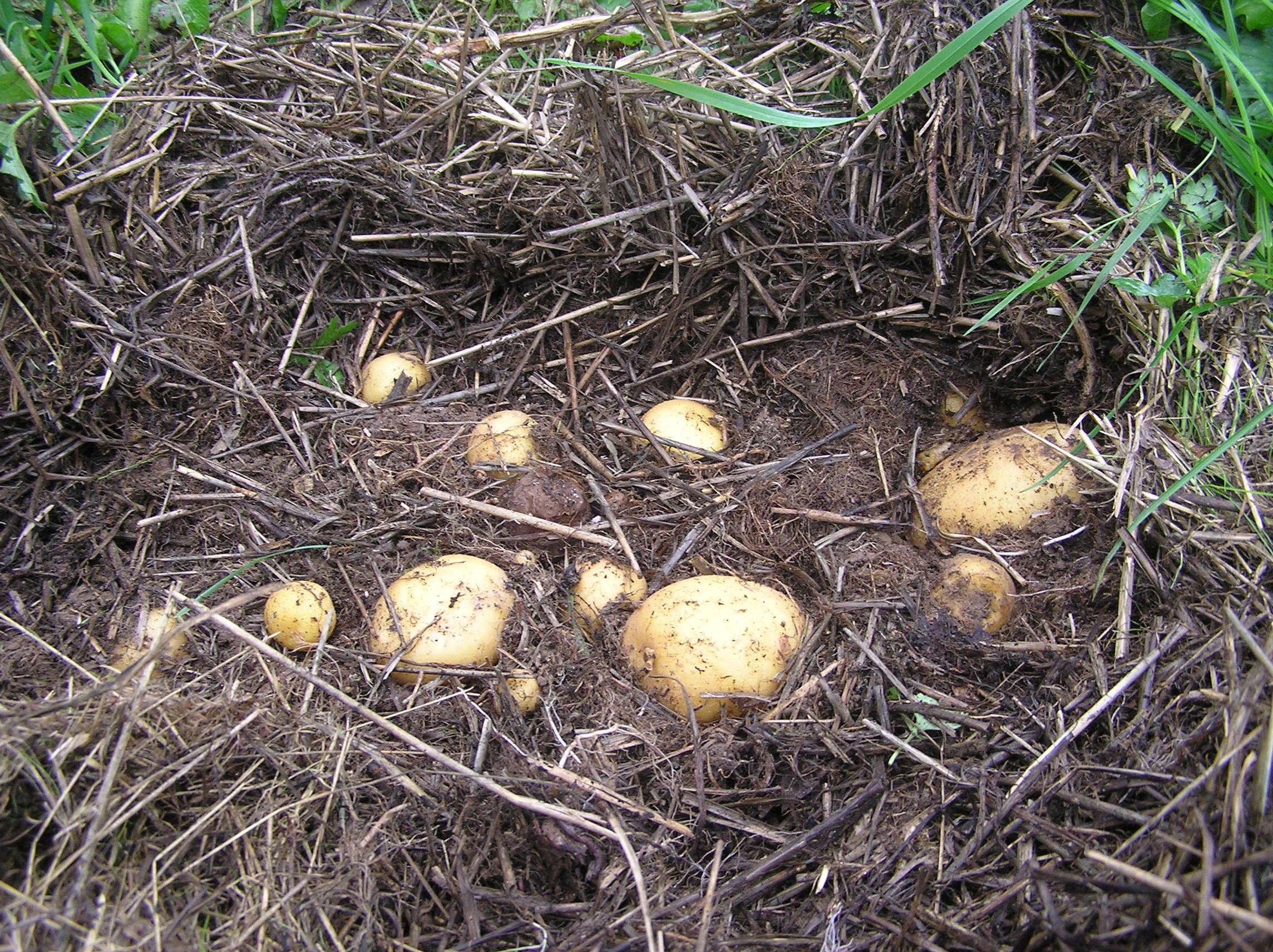 Какая картошка выросла под сеном: видео эксперимента