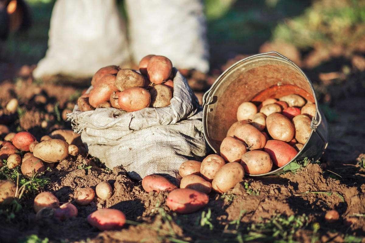 Почему не нужно обламывать ростки картошки перед посадкой: эксперимент нашего читателя