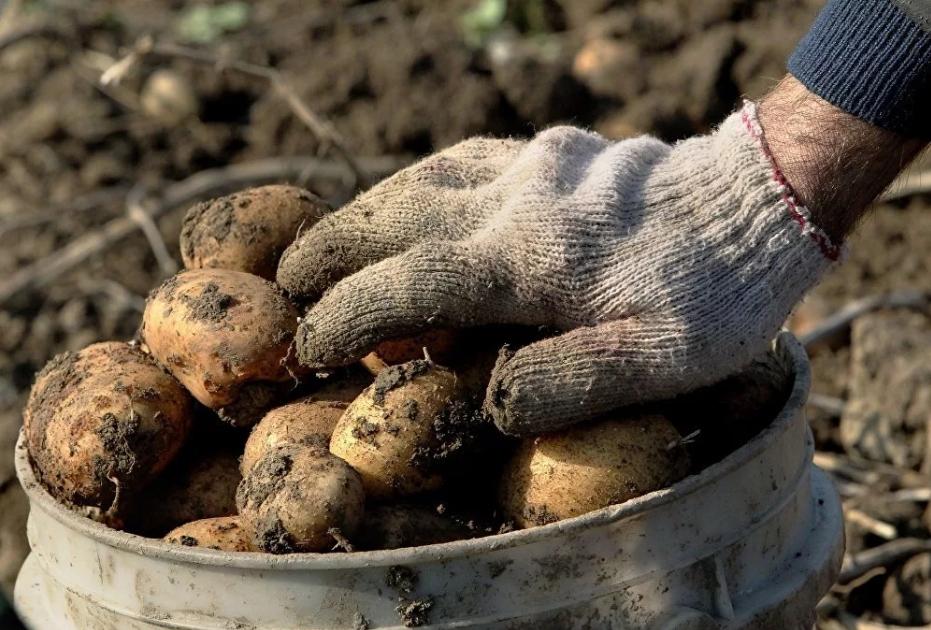 Второй урожай картошки, посаженной в конце июня: видео от постоянного читателя