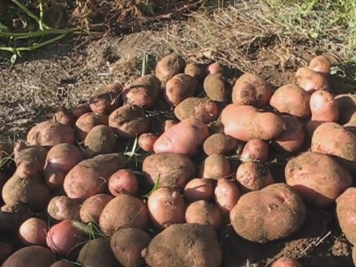Видео от нашего читателя: посадил ростки, обломанные с картошки, и вот что выросло