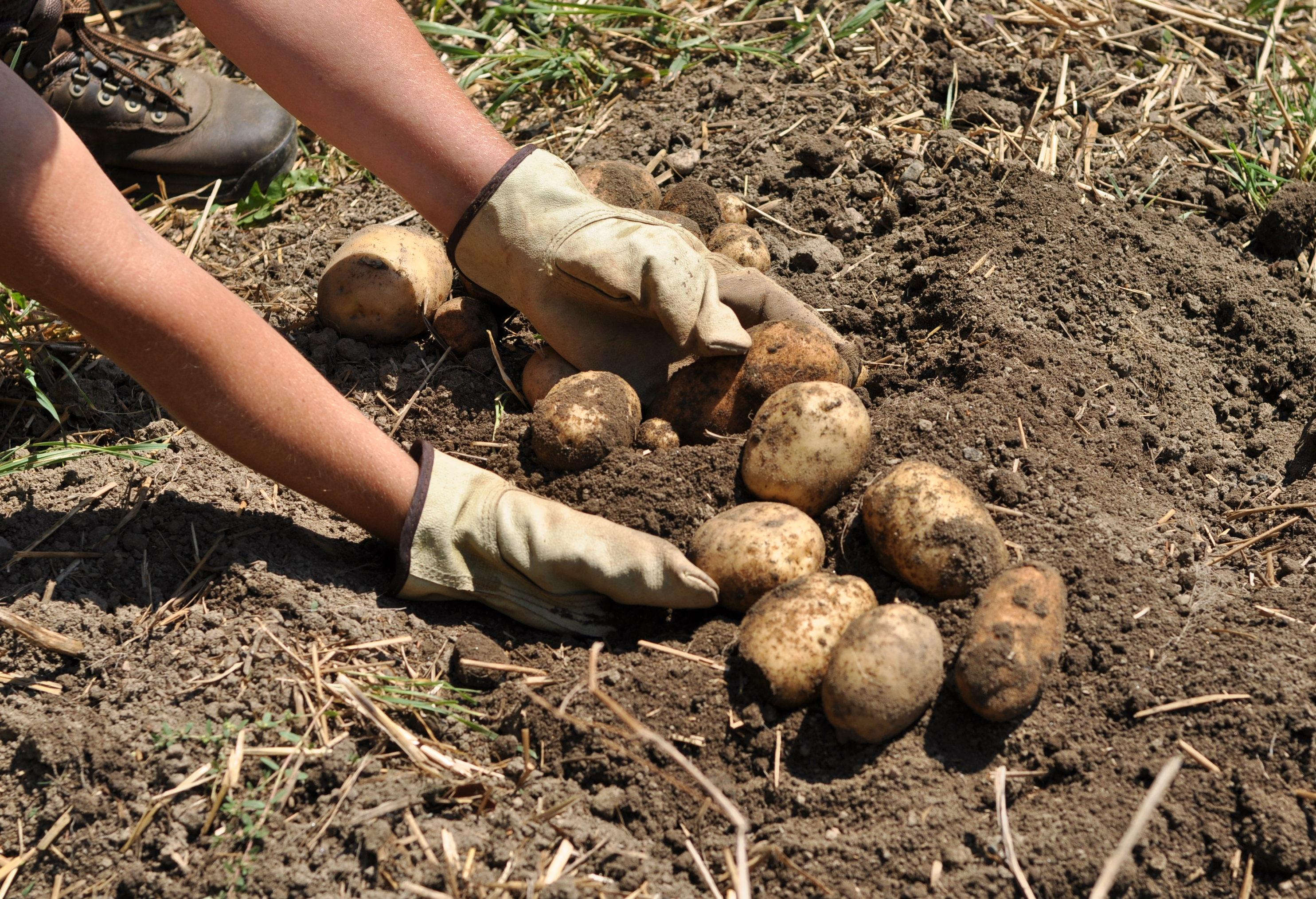 Какая картошка выросла под картоном: видео от нашего читателя