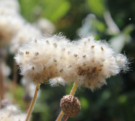 Семена анемоны