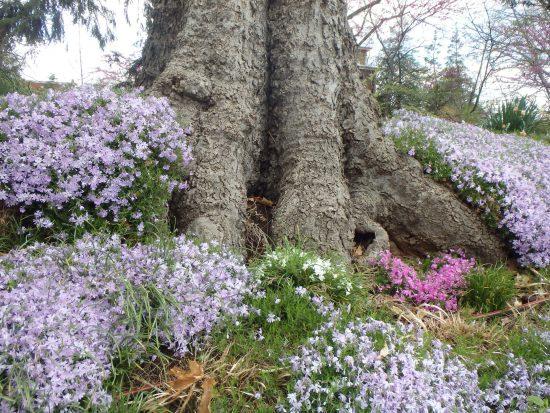 Флоксы под деревом