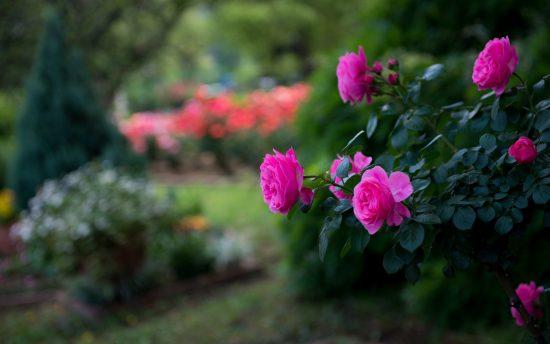 Роза в тени