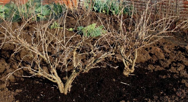 Чем удобрять смородину осенью: заботимся о будущем урожае