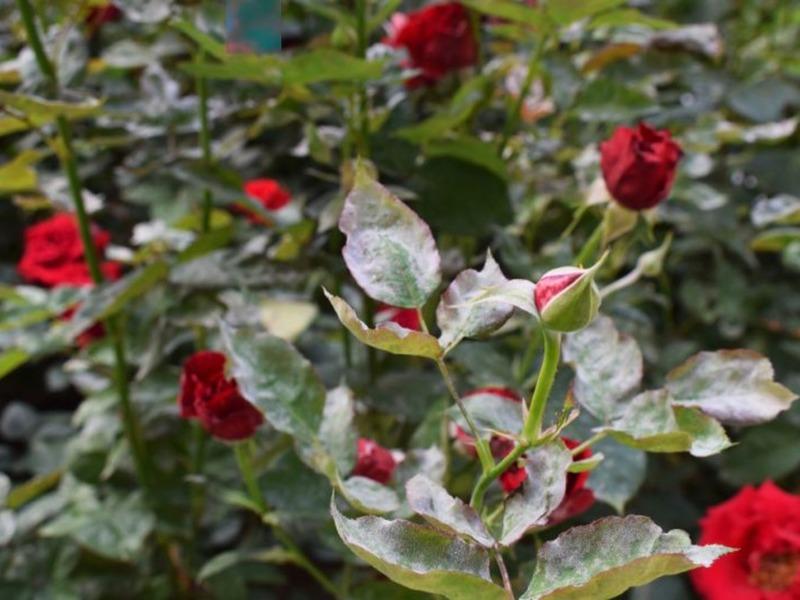 Чернеют листья у розы что делать