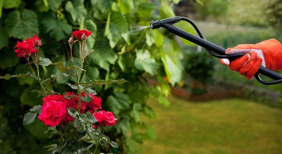 Профилактическая обработка роз