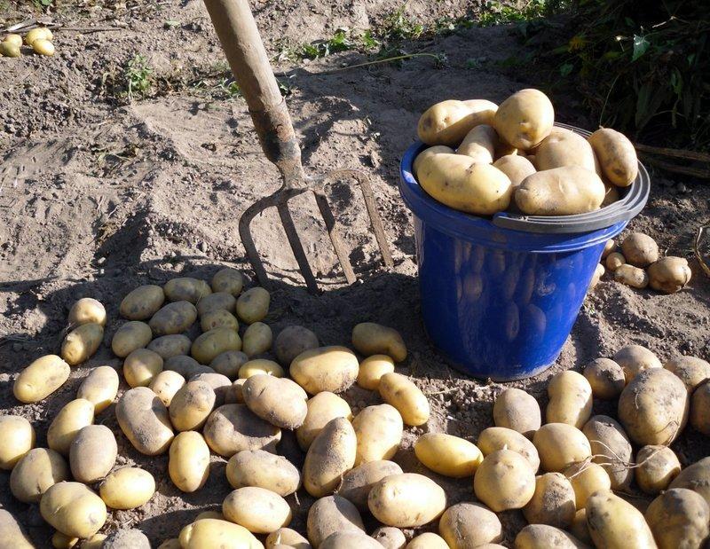 Чем обработать землю после уборки картофеля: заранее готовим почву к следующему сезону