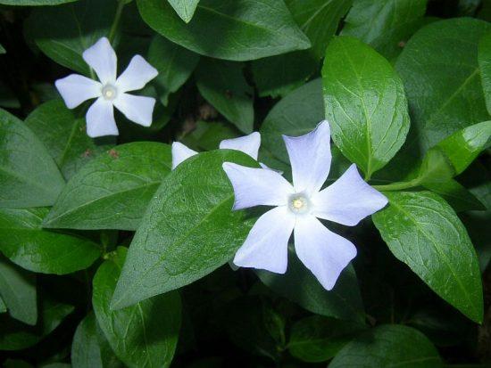 Ветви с белыми цветками и зелёными листьями
