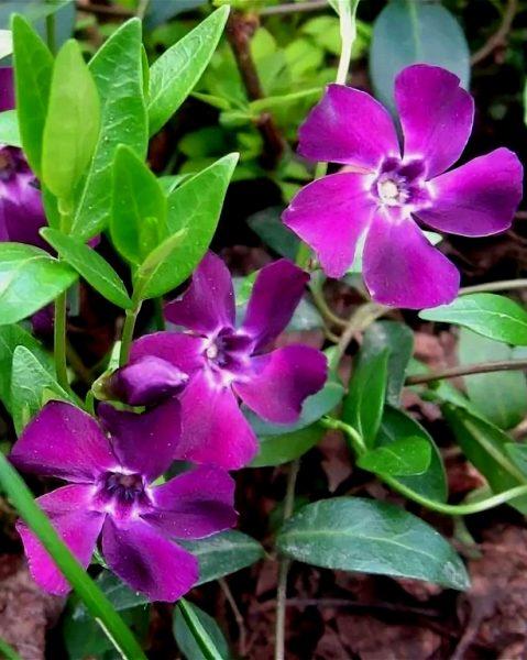Ярко-фиолетовые цветы и салатно-зелёные листья