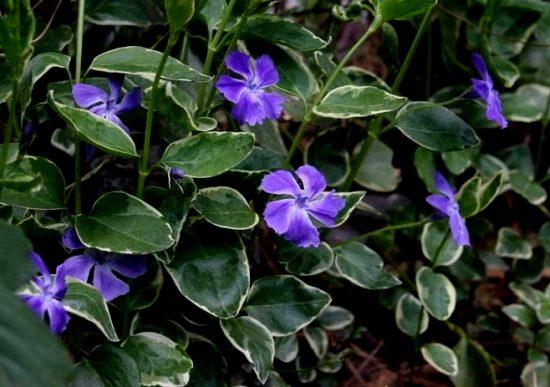 Яйцевидные зелёные листья с белой каймой, фиолетовые цветки