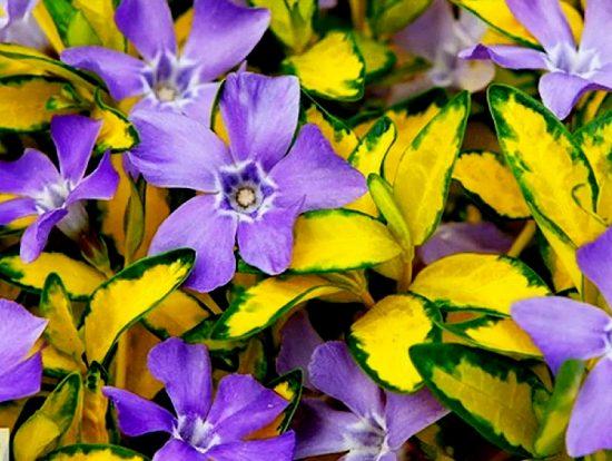 Сиреневые цветки среди жёлто-зелёных листьев