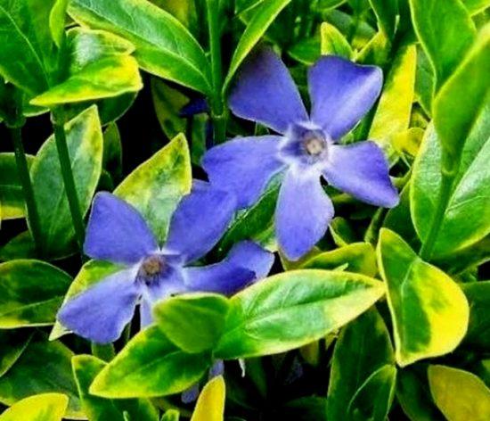 Лавандово-голубые цветы среди жёлто-зелёных листьев