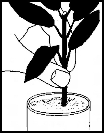 Рука высаживает черенок растения в ёмкость с грунтом