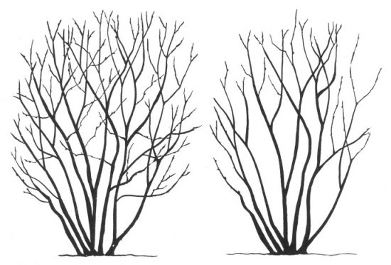 Сирень до и после санитарной обрезки