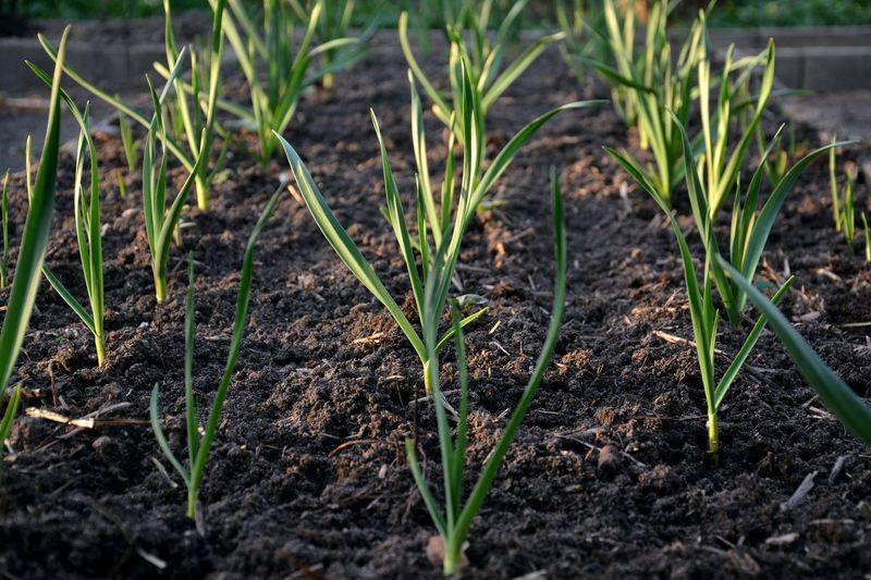 Можно ли сажать чеснок после моркови: как не остаться без урожая