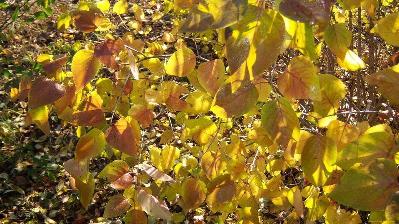 Обрезка сирени осенью: справится даже новичок