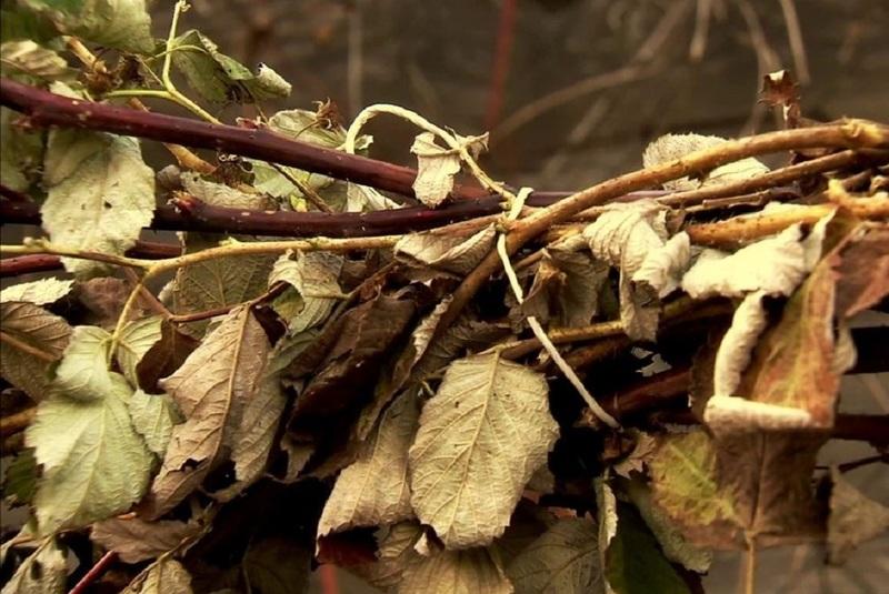 Обрезка ремонтантной малины осенью: основные правила и ошибки, которые допускают садоводы