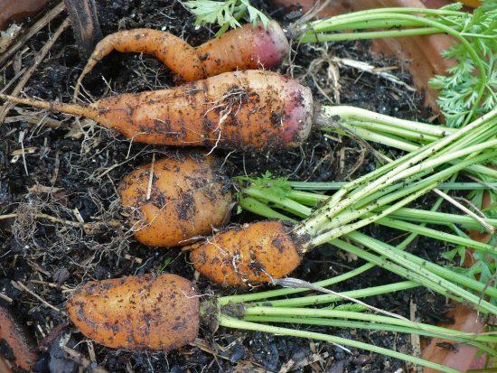 Мелкая морковь