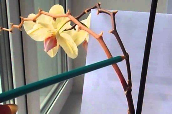 сухая цветочная стрелка фаленопсиса