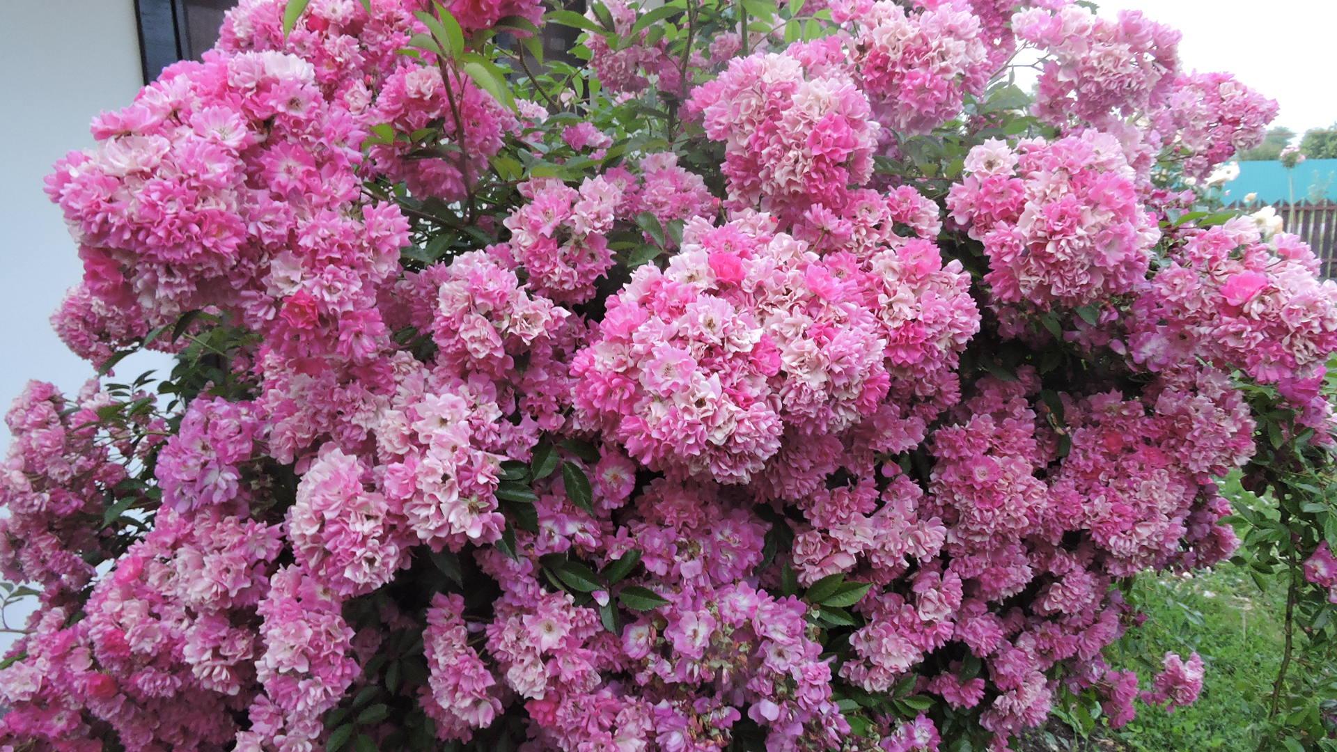 роза вартбург фото и описание