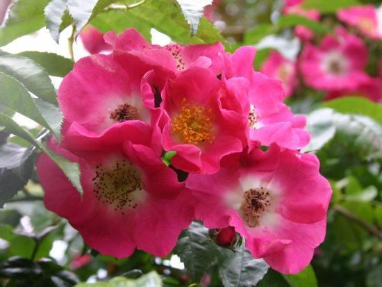 Роза Американ Пиллар