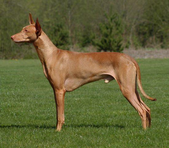 Собака фараона