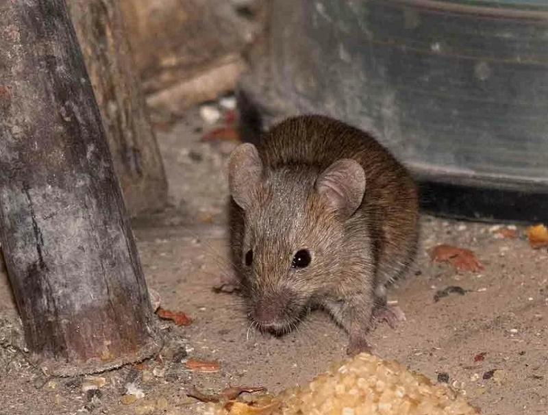 Как защитить дачу от мышей, не используя мышеловки