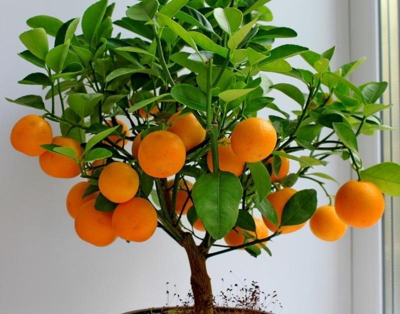 9 секретов, которые помогут вырастить мандарин из косточки
